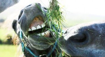 horse_teeth_525