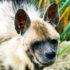 hyena_525