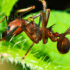 leafcuttingant_525