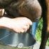 milking_goat_525