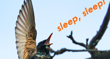 starling_sleep_525