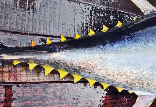 tuna_tail_1