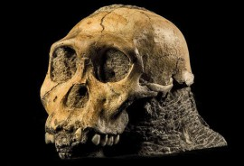 Australopithecus_sediba_1