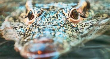 croc_face_525