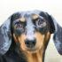 dachshund_1