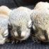 danzer-squirrel-babies_1