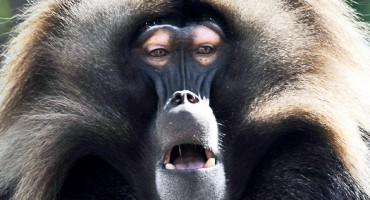 Alpha Male Gelada Baboon