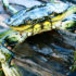 green_crab_525