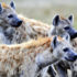 hyena_group_525