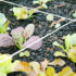 lettuce_seedlings_525