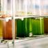 microalgae_525