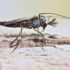 mosquito_macro_1