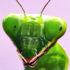 praying mantis2_1