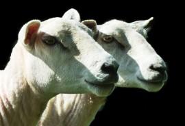 sheared_sheep_525