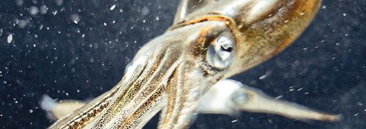 squid_beak_1