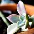 succulent1_525