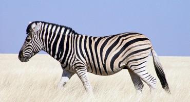 zebra_Namibia_1