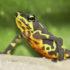 Atelopus glyphus_525