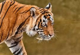Panthera_tigris_525