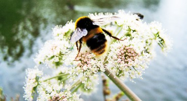 UK_bumblebee_525