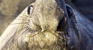elephant_seal_525