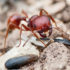 harvester_ant_525