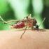 mosquito_bite_525