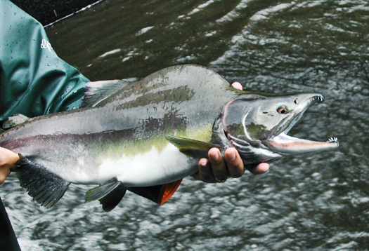 pink_salmon_525