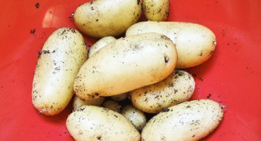 potatoes_525