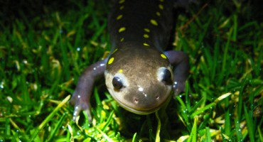Salamander night at Bull Pond Pasture, Apr 4 2011.  With 7Song