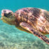 sea_turtle_swim_525