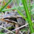 wood_frog3_525