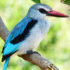 KingfisherWoodland_525