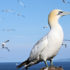 Leeds_seabird_525