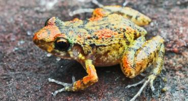 Scricketfrog