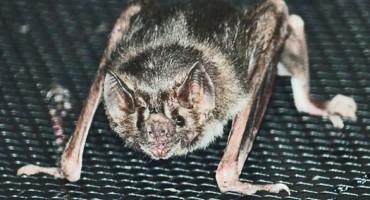 Vampire_Bat_525