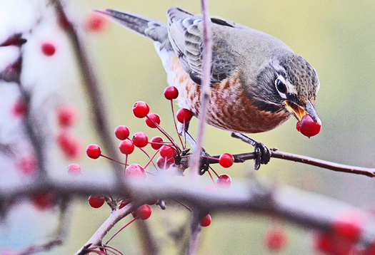 bird_berry_525