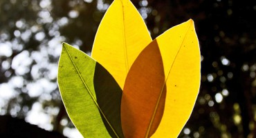 leaves_trio_525
