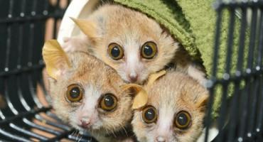 lemurs_525