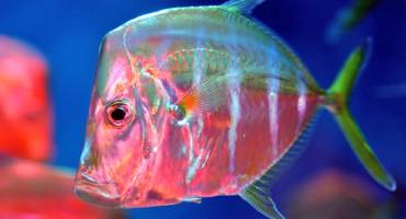 lookdown_fish_525