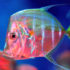 lookdown_fish_525