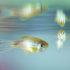 zebrafish_525