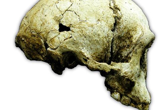 Homo_skull_525