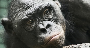 ape_evolution_525