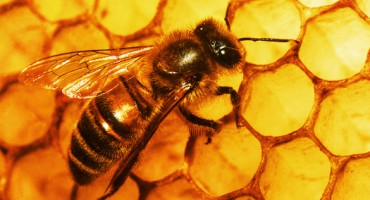 bee_honeycomb_525