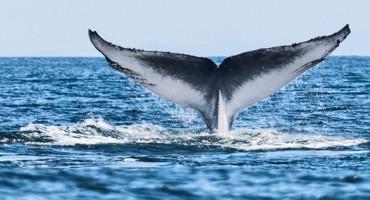 blue_whale_525