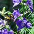 bumblebee_larkspur_525