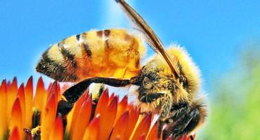 honeybee_flower_525