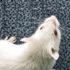 whitemouse_ears-525