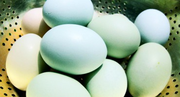 blue_eggs_525